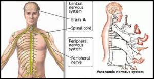 A paraneoplastic neurological syndrome can damage both the peripheral and autonomic nervous systems
